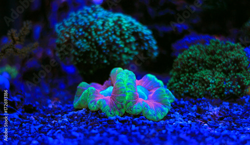 Poster Sous-marin Open brain coral - Trachyphyllia