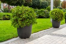 Street Bush In A Flowerpot
