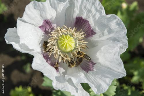 Plakat Widok kwiatu maku z zapylających pszczół.