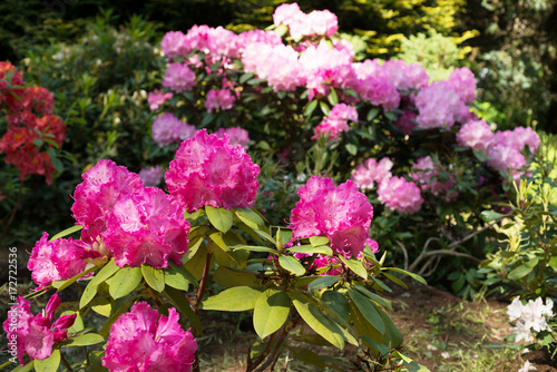 Plakat Kwitnący różanecznik w ogródzie