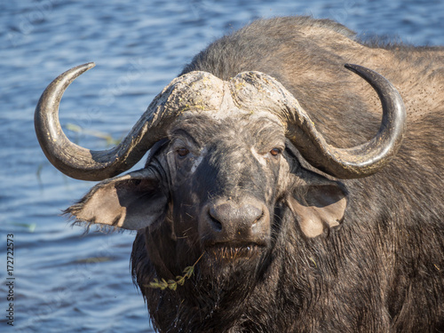 In de dag Buffel Huge water buffalo with impressive horns at water of Chobe River National Park, Botswana, Southern Africa