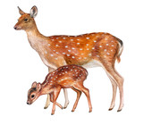 Deer female with baby isolated on white background. Fawn. Motherhood. Wotercolor. Illustration. - 172725998