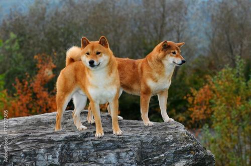 Portrait of Two Shiba Dogs Canvas Print