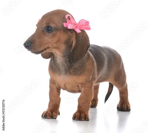 Keuken foto achterwand Crazy dog adorable female dachshund puppy