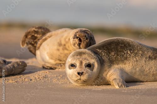 Fotografia Harbour seals, Phoca vitulina, resting on the beach