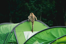 Monkey Playing On Tent
