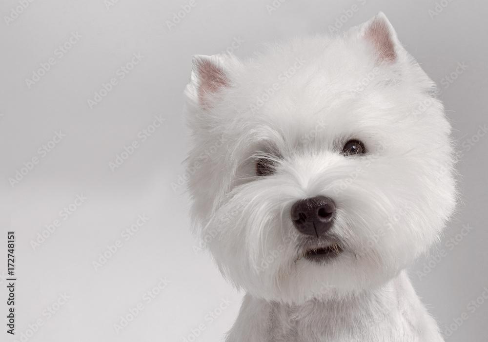 Fototapety, obrazy: WEST HIGHLAND WHITE TERRIER dog
