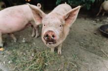 Closeup Of Pig Looking At The ...