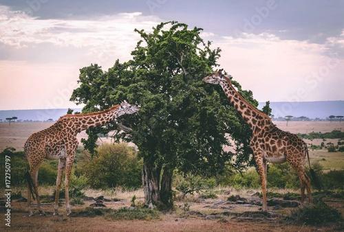 drzewo-w-afryce