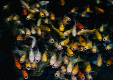 Swarm Of Koi Fish In Different...