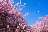 Fototapeta Las - Cherry blossoms in the wind against blue sky