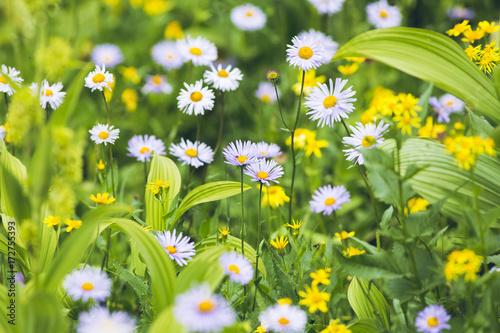 Plakat górskie kwiaty brytyjskiej Kolumbii