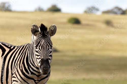 In de dag Zebra Zebra standing still and staring in front of him