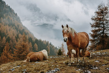 Haflinger Horses On Autumnal Meadow In Foggy Mountain Landscape