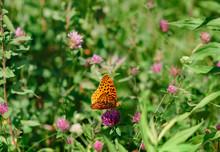 Orange Butterfly On Purple Clover