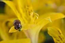 A Beetle On A Yellow Flower Pe...
