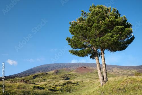 Fényképezés  Etna Park Pine, Sicily