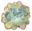 Echeveria Curlylocks Succulent