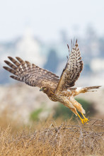 Northern Harrier Lift Off