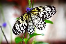 Paper Kite Butterfly On Purple...