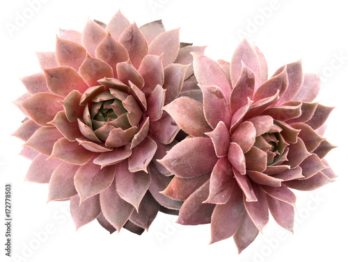 Photo  Supervivum Succulent