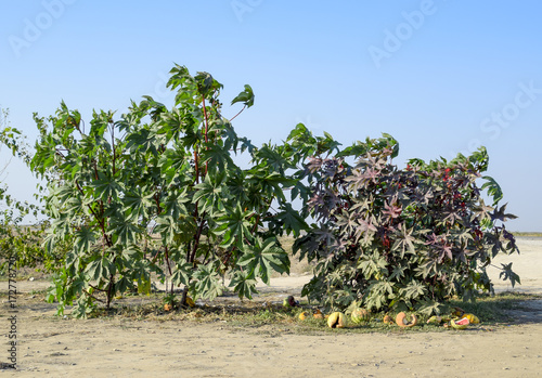 Large bushes of Ricinus. A plant from which castor oil is made.