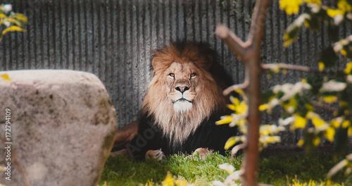 Zdjęcie XXL zwierzęcy natura lew