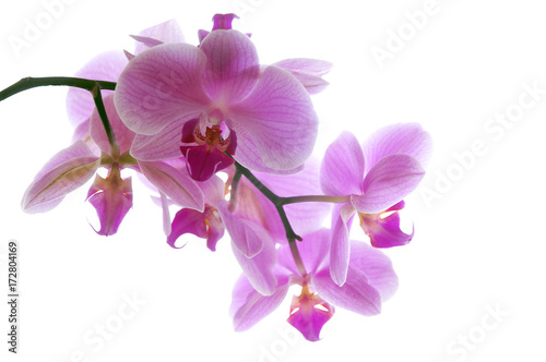 Recess Fitting Orchid Orchidee pink