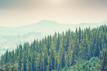 Fototapeta Las Mountain pine and natural light