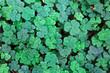 Leaf clover background.