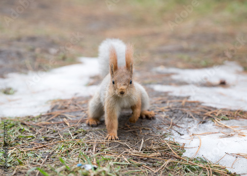 Zdjęcie XXL Śliczny wiewiórczy siedzenie na trawie przy parkiem, forrest przy słonecznym dniem