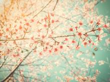 Light Pink Of Himalayan Cherry...