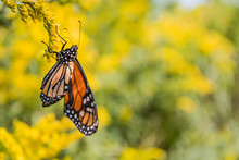 Newly Emerged Monarch Butterfly (Danaus Plexippus) Continues To Dry Its Wings While Feeding On Goldenrod Flowers