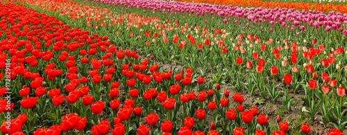 Tuinposter Rood Tulip. Beautiful field garden of tulips. colorful tulips. tulips