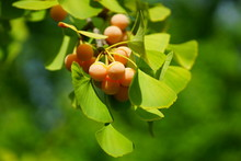 Green Fan-shaped Leaves And Yellow Nuts Of The Ginkgo Biloba Tree