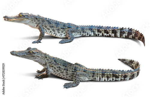 Foto op Plexiglas Krokodil Crocodile isolated