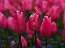 Bright Pink Tulip Field