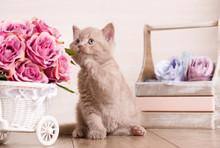 Little Playful Scottish Kitten...