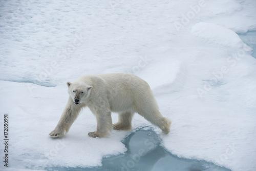 Poster Polar bear Big polar bear on drift ice edge .