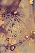 Abstract Macro Of A Dandelion With Dew Drops. Gold Drops.
