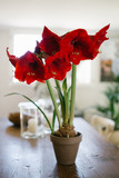Red amaryllis blooming, flowering in a pot inside a house. Big flowered hippeastrum