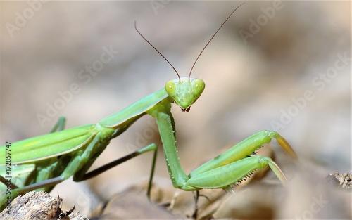 Valokuva  Praying Mantis Stare