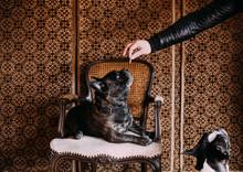 Man Feeding Bulldogs At Home