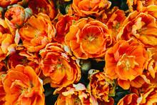 Group Of Orange Tulips In Spring