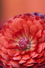 Macro Of Ranunculus Flower Pet...