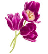 Three lilac tulip flowers isolated on white background cutout