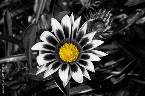Plakaty czarno biały kwiat z żółtym środkiem