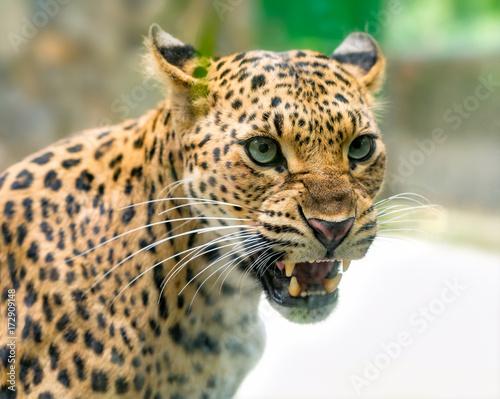 Plakat Portret lamparta drukuje gniewnego w naturalnym świecie. To zwierzę należące do rodziny kotów musi być zachowane w przyrodzie