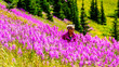 Leinwanddruck Bild - Senior woman on a hiking trail in alpine meadows covered in pink Fireweed flowers during a hike to Mount Tod, near Sun Peaks village in the Shuswap Highlands of central British Columbia