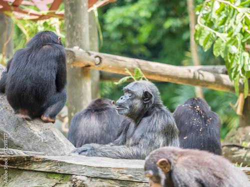 Fototapeta close up of a chimpanzee